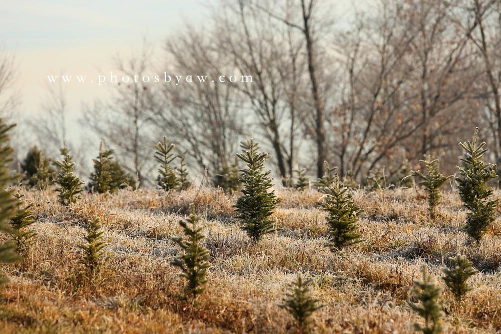 christmas tree field