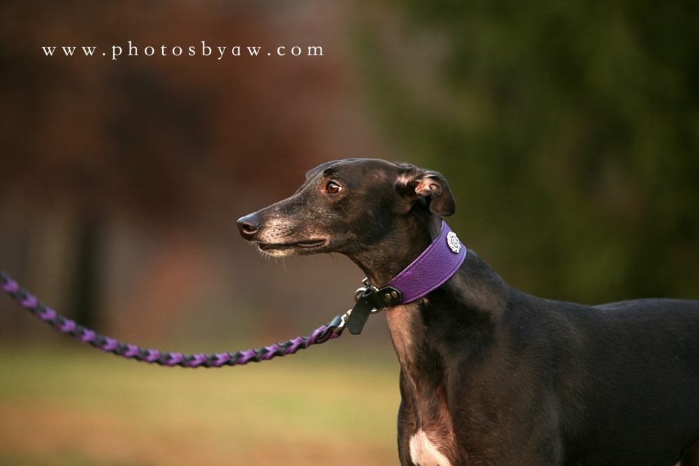 black_greyhound_dog